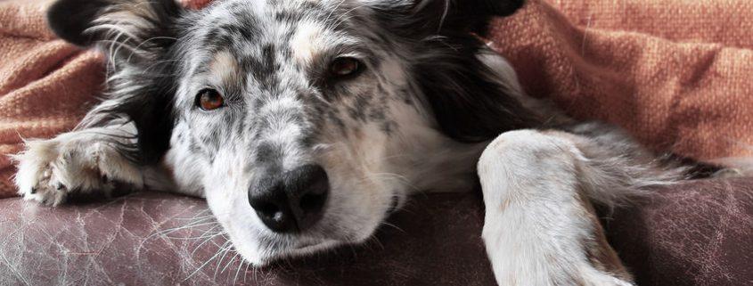 kutyahamvasztás ára